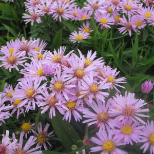Aster dumosus Peter Harrison - Aster nain d'automne rose