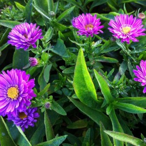 Aster dumosus Starlight - Aster nain d'automne rose foncé