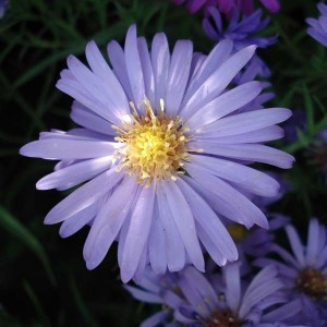 Aster dumosus Lady In Blue