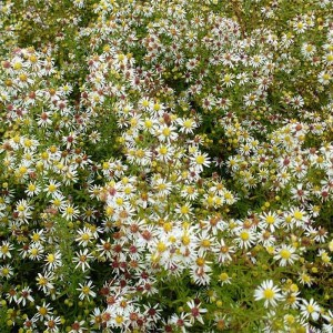 Aster ericoides Golden Spray
