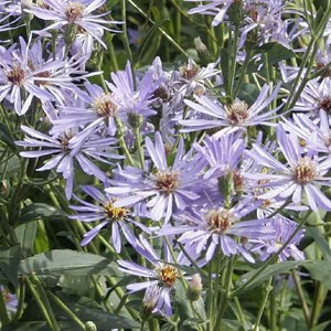 Aster macrophyllus twilight