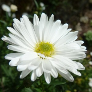 Aster novi-belgii White Lady - Aster grand d'automne