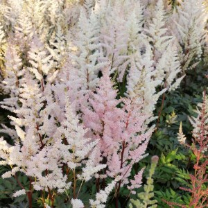 Astilbe arendsii Bumalda -  Astilbe d'Arends blanche