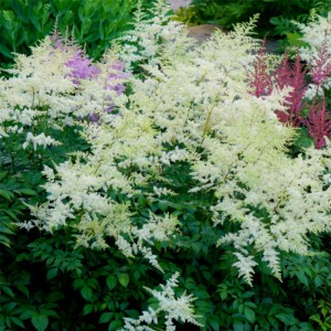 Astilbe arendsii Rock and Roll - Astilbe d'Ardens Rock and Roll