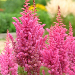 Astilbe chinensis Veronica Klose