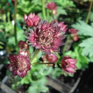 Astrance - Astrantia major Moulin Rouge