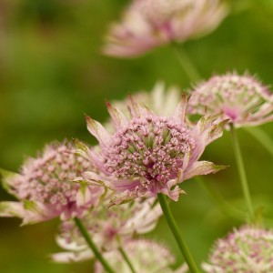 Astrance - Astrantia major Pink Pride
