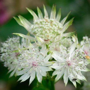Astrance - Astrantia major White Giant.