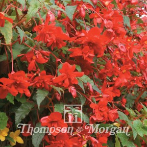 Begonia Chanson Deep Red F1 Hybrid