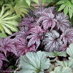 Begonia Garden Angel Plum