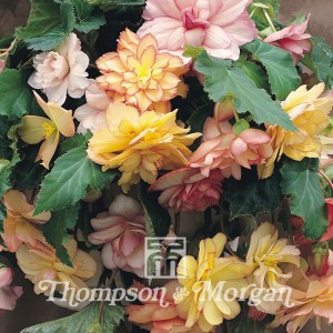 Begonia Show Angels Mixed F1 Hybrid