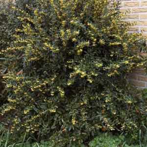 Berberis julianae - Epine-vinette de Saint Julien