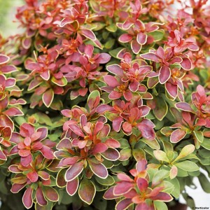 Berberis thunbergii Admiration® - Epine-vinette