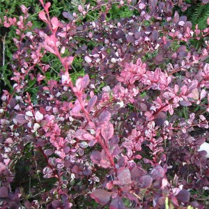 Berberis thunbergii Harlequin - Epine-vinette rose