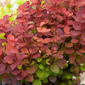Berberis thunbergii Orange Rocket - Epine-vinette
