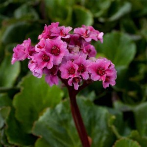Bergenia Morgenrote - Plante des savetiers