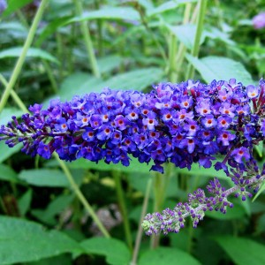 Buddleia Empire Blue - Arbre aux papillons