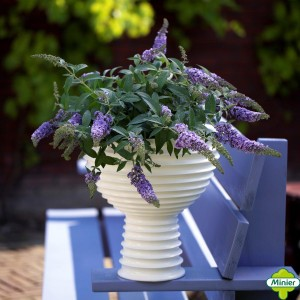 Buddleia Lilac Chip - Arbre aux papillons nain
