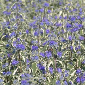 Caryopteris White Surprise® - Spirée bleue, Barbe-bleue
