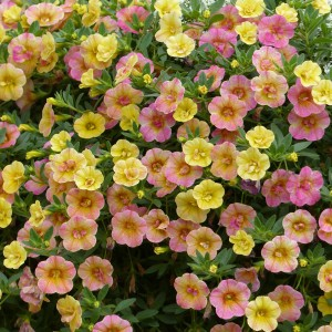 Calibrachoa Chamaeleon Double Pink Yellow - Mini-pétunia