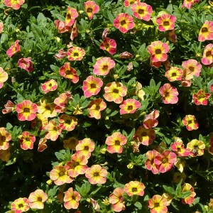 Calibrachoa Chamaeleon Sunshine Berry - Mini-pétunia