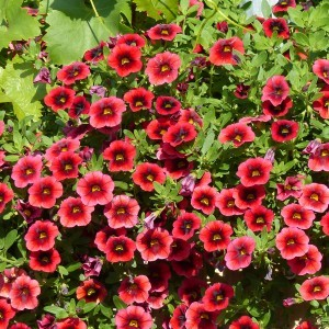 Calibrachoa Superbells Pomegranate Punch - Mini-pétunia