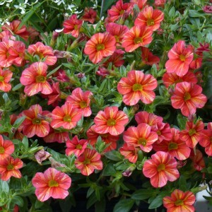 Calibrachoa Superbells Tropical Sunrise - Mini-pétunia