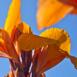 Canna Semaphore - Balisier orange abricot