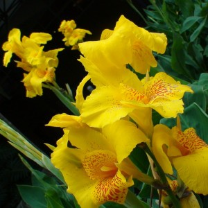 Canna Yellow Humbert - Balisier jaune  picté d'orange
