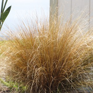 Carex buchananii - Laîche du Buchanan
