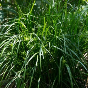 Carex grayi - Laîche massue