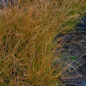 Carex testacea Prairie Fire - Laîche orange