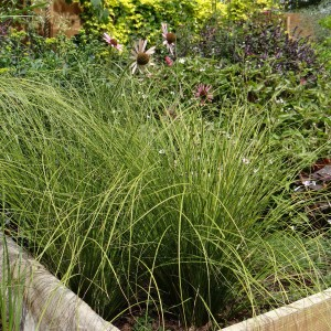 Carex testacea Lime Shine - Laîche