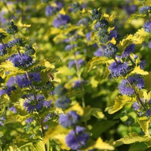 Caryopteris Hint of Gold