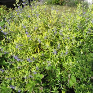 Caryopteris Worcester Gold - Spirée bleue, Barbe-bleue