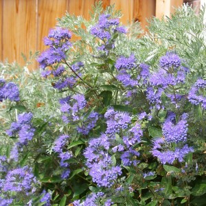 Caryopteris clandonensis Heavenly Blue - Spirée bleue