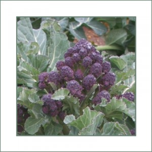 Chou Brocoli Red Fire F1