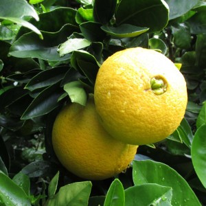 Oranger - Citrus sinensis Washington Navel