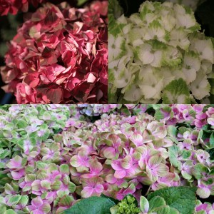 Collection Hortensias Magiques