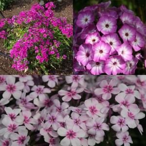 Collection de 3 Phlox paniculata nains