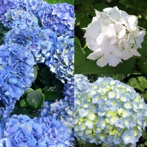 Collection de 3 hortensias macrophylla