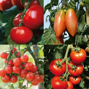 Collection de 4 tomates hybrides F1