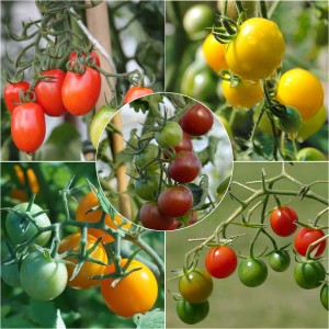 Collection de 5 tomates-cerise colorées en plants