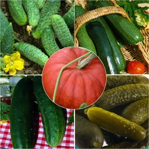 Collection de Cucurbitacées - Concombre, Cornichon, Courgette, Potiron
