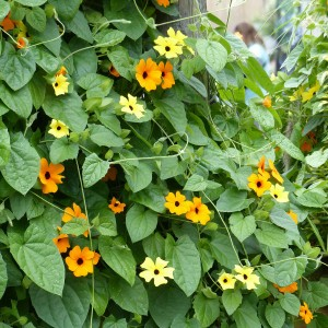 Collection Thunbergia Alata - Suzannes aux yeux noirs
