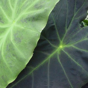 Colocasia Dragon Heart Giant - Oreille d'éléphant