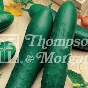 Concombre demi-long Cetriolo Marketer - Cucumis sativus