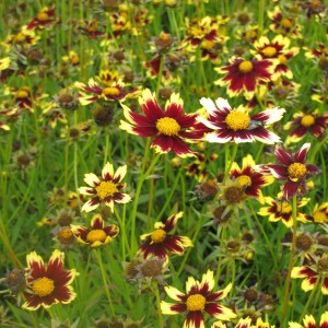 Coreopsis Cosmic Eye - Coréopsis bordeaux et jaune d'or