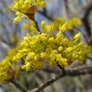 Cornus officinalis - Cornouiller officinal