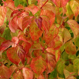 Cornus sanguinea Magic Flame - Cornouiller sanguin.